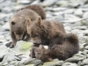 grizzly_20120715_5565