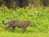 a_jaguard_pantanal