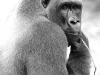 Gorille de Mefou (Cameroun)