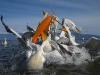 pelican_frise_023