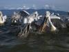 pelican_frise_024