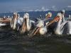 pelican_frise_025