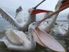 pelican_frise_028