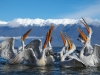 pelican_frise_031