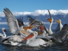 pelican_frise_032
