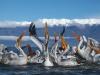 pelican_frise_033