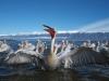 pelican_frise_034