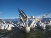 pelican_frise_036