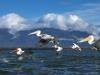 pelican_frise_037