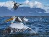 pelican_frise_038