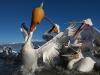 pelican_frise_040