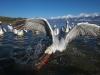 pelican_frise_042