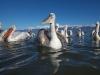 pelican_frise_044