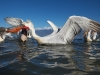 pelican_frise_045