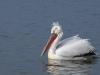 pelican_frise_046
