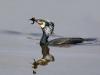 cormoran_nuptial_herbe2