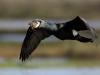 cormoran_nuptial_vol