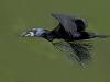 cormoran_vol_branche2