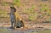 leopard-kala2