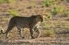 leopard-kala3