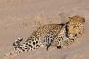 leopard_kala1
