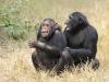 Spéciale  Chimpanzés