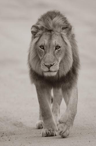 lion-krug-08122627